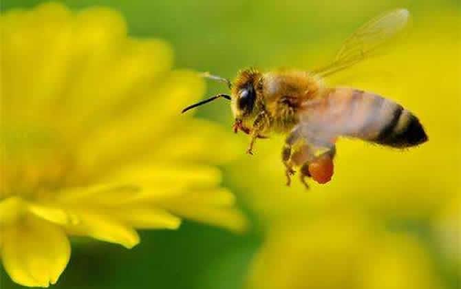 一亩大棚养殖多少蜜蜂
