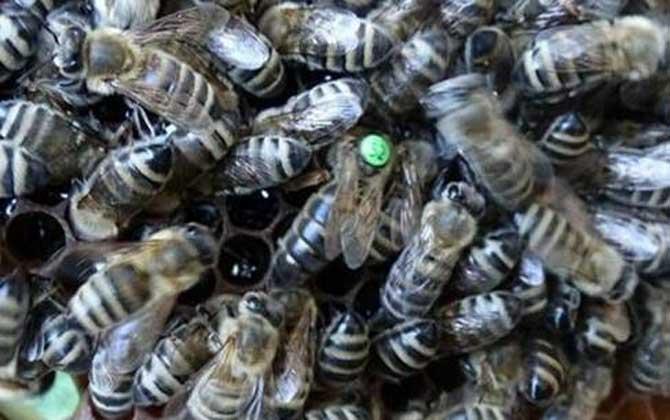 黑蜂吃什么食物