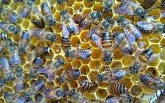 蜜蜂一年可收蜂蜜几次(蜜蜂一般多久收一次蜜)