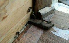 刚收回来的蜜蜂需要关一天吗(刚收回来的蜜蜂第二天放可以吗)