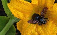 竹蜂一般在我国哪些地方有(竹蜂的毒性有多大)