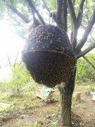 诱蜂水怎样使用(诱蜂水的使用方法及效果)