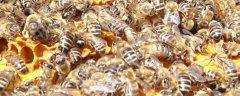 蜜蜂最少多少只工蜂才能发展(几十只蜜蜂能发展起来吗)