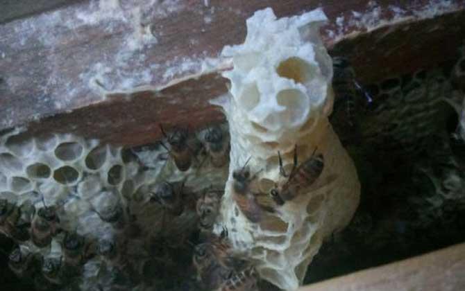 一张脾能孵化多少只蜂
