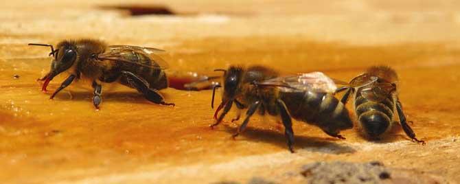 蜜蜂的生命周期有多长