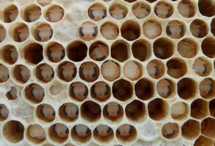 蜂箱外好多白色的蜂蛹什么情况