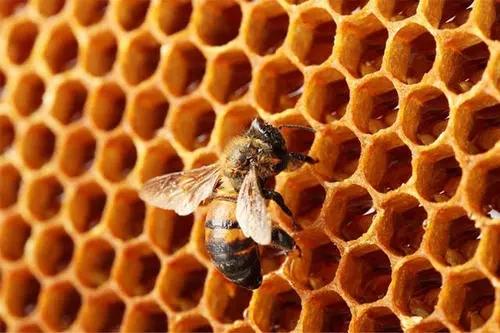 蜂蜡和蜂巢的区别(蜂巢和蜂蜡是一样的吗)