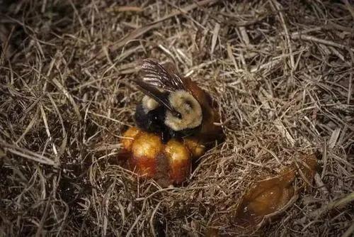 熊蜂筑巢产卵