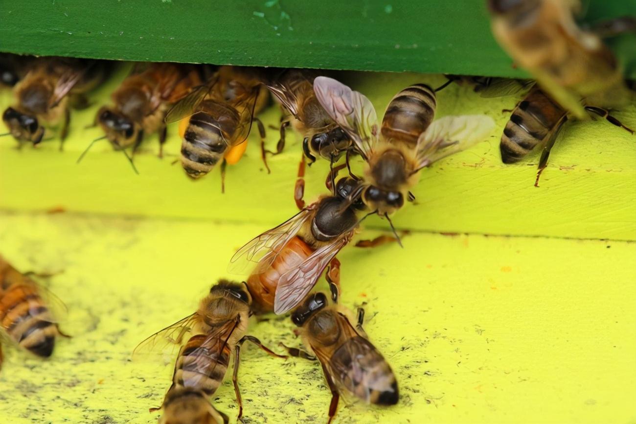 蜂王交尾前后翅膀的区别