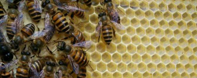 蜂王会不会出巢