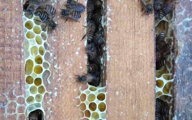 蜜蜂没蜂王他会自己造王吗