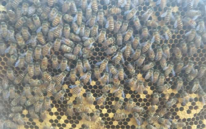 人造王台蜜蜂起不起分蜂热