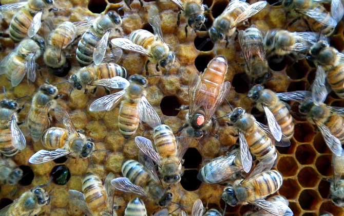 蜜蜂王剪掉翅膀有影响吗