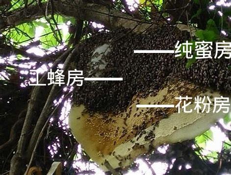 野生的蜜蜂窝长什么样子