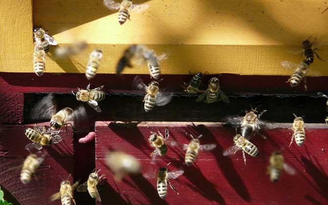 蜜蜂分蜂一般会飞多高多远