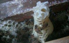 一张脾能孵化多少只蜂(一脾蜂能繁殖多少)