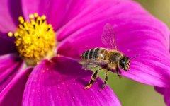 工蜂为什么不能生育(工蜂有生殖能力吗)