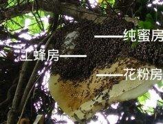 野生的蜜蜂窝长什么样子(野生蜜蜂窝怎么找)