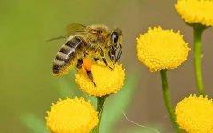 蜜蜂采食毒蜜怎么办(蜜蜂采了有毒的花蜜怎么办)