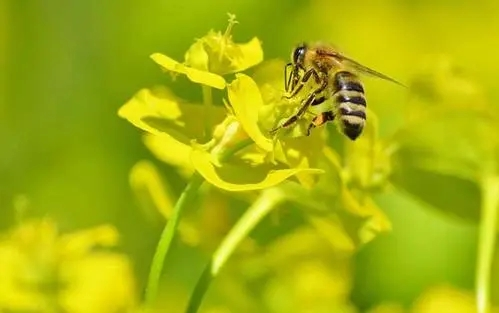 没蜜蜂直接买个蜂王可以喂养吗(买的蜂王可以招蜜蜂吗)