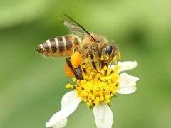 有蜂王工蜂产卵怎么办(有蜂王怎么还出现工蜂产卵怎么处理)