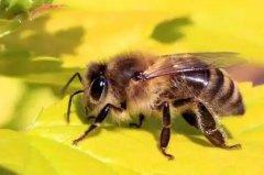 蜜蜂失王急造王台多余的蜂王怎么办