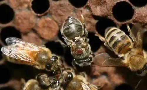 意蜂一框封盖子有多少蜂