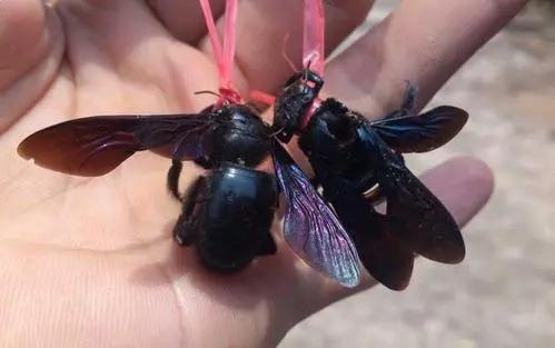 在竹子里的黑色蜜蜂是什么蜂