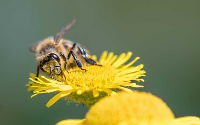 蜜蜂有什么特点