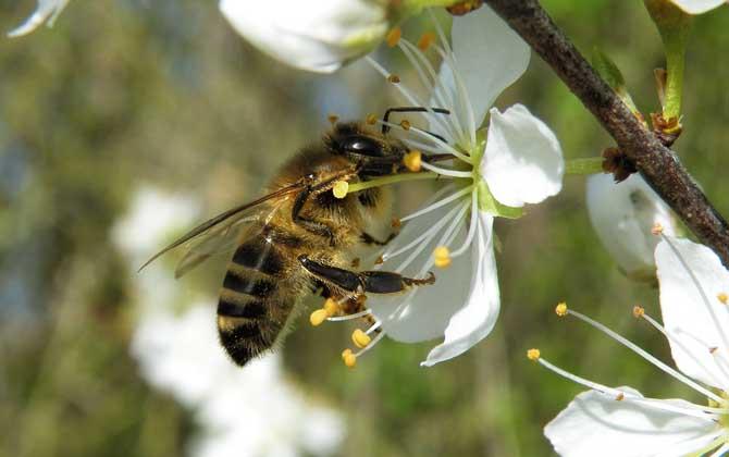 马蜂和蜜蜂最直接的区别
