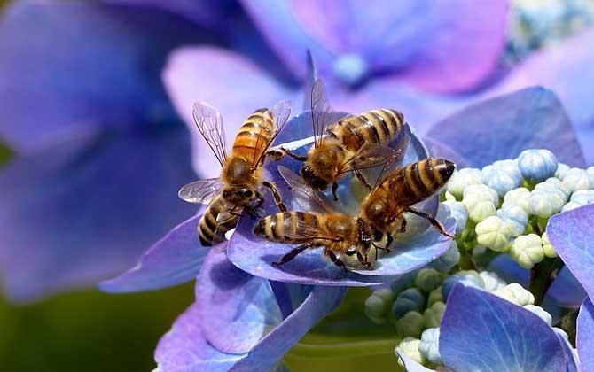 蜜蜂飞进花蜜里如何采蜜