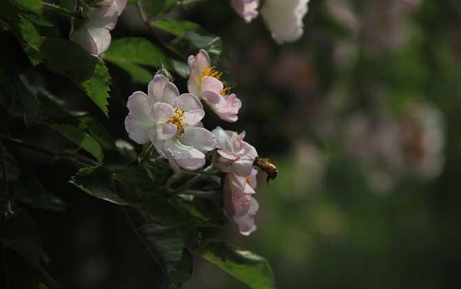 小蜜蜂一共分为几种