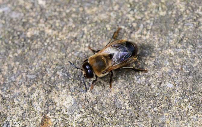 为什么蜂王与工蜂的体型和分工存在很大差异
