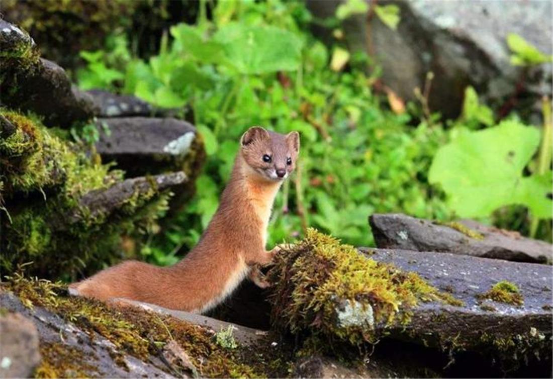新疆帕米尔高原发现香鼬,不足1斤,敢捕食比自己重100倍的盘羊