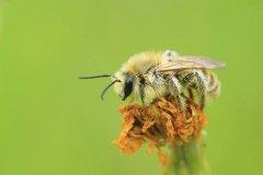 切叶蜂产蜜吗(切叶蜂具有怎样的独特本领)