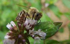 蜜蜂有什么特点(蜜蜂有哪些品种)