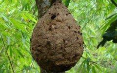 葫芦蜂会不会蜇死人(被葫芦蜂蜇了会中毒吗)