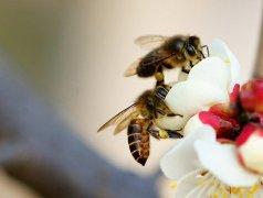 蜜蜂的优点有哪些(蜜蜂有什么样的特点)