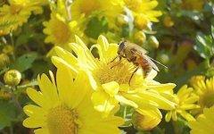 蜜蜂多少天酿成一批蜜(一只蜜蜂一生能酿多少蜜)