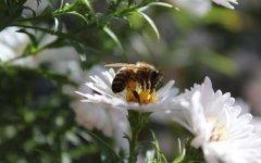 蜜蜂飞进花蜜里如何采蜜(蜜蜂在花上怎么采蜜)