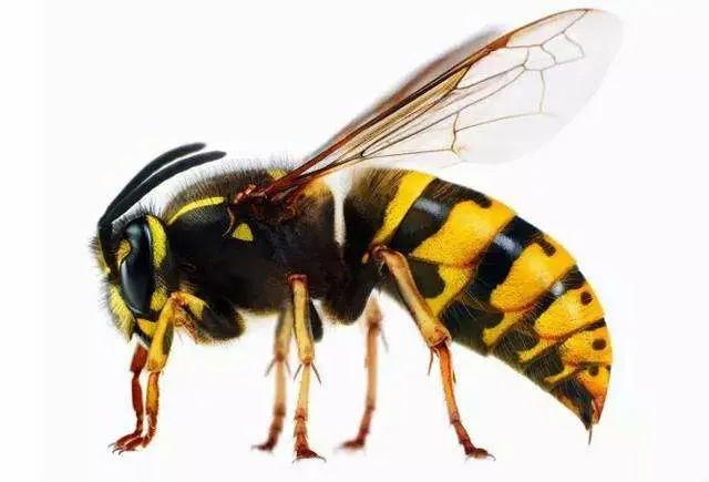 野外找胡蜂技巧