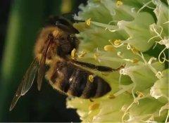 蜜蜂多久出一批蜜(蜜蜂多少天酿成一批蜜)