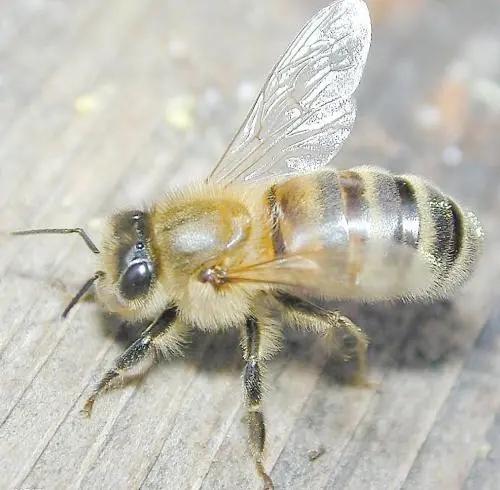蜜蜂采蜜后花朵怎么样了