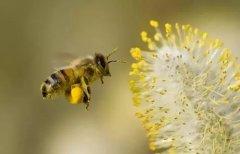 一万只中蜂有多重(一斤蜜蜂有多少只左右)