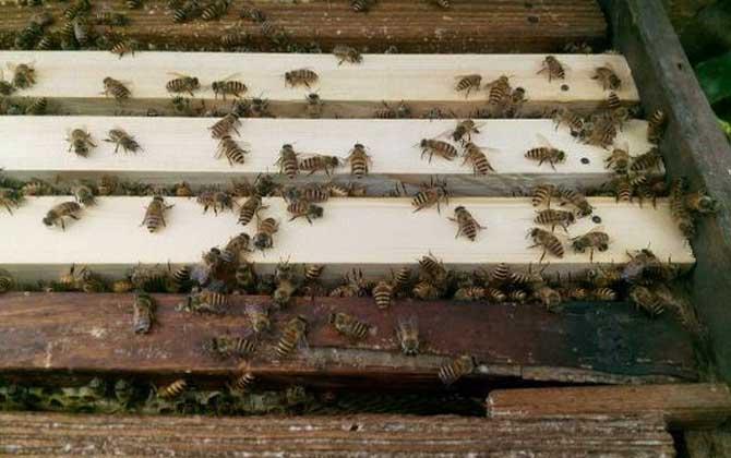 中蜂在隔板上造脾有影响吗