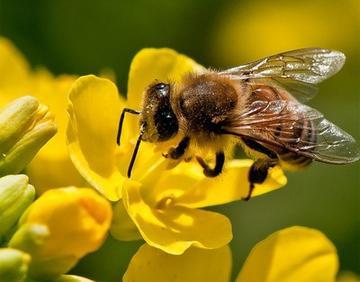 每天蜜蜂巢门口见死蜂是怎么回事(蜜蜂死在巢门口是什么原因)