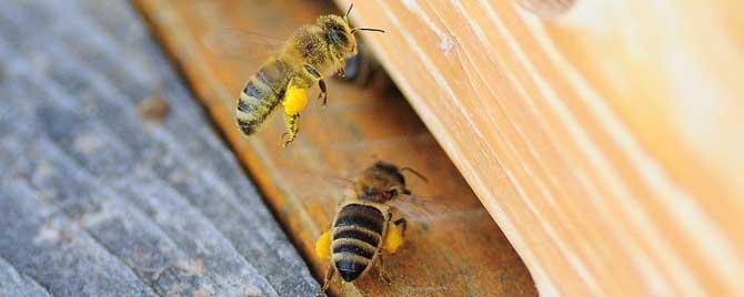 蜜蜂自然分蜂时间