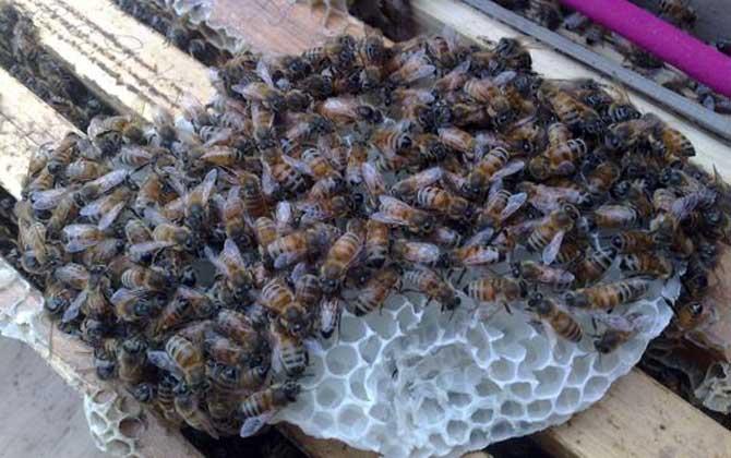 蜜蜂寿命多少天