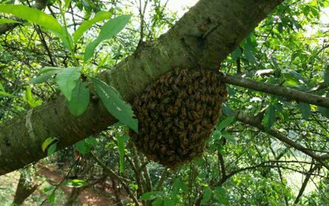 中蜂养殖技术要点(如何养好中蜂)