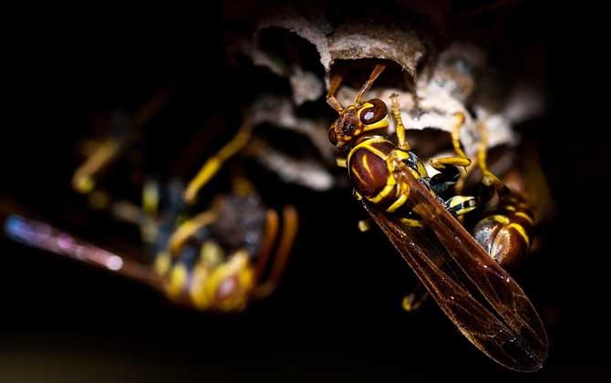 家里飞来黄蜂代表什么